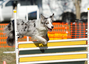 Entry Level Dog Agility Florida