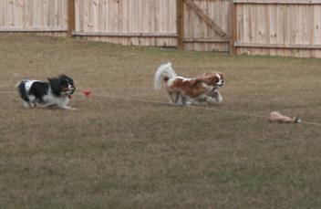Lutz FL Dog Lure Coursing