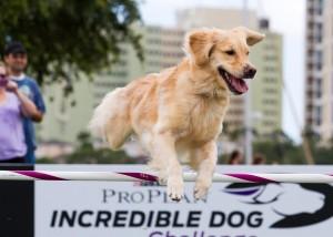 SNITCH PURINA INCREDIBLE DOG MAY2013