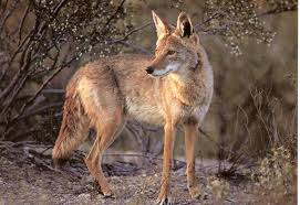 Coyotes are a danger to dogs being walked
