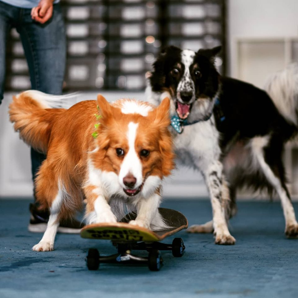 AKC Trick Titling in Tampa
