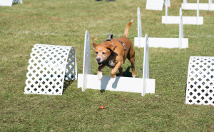 dog jumping over hurdles playing flyball