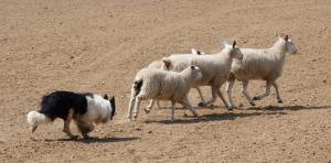 dog herding four sheep