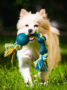 dog with rope toy in mouth