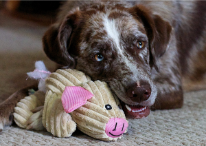 dog with squeaky stuffed animal toy in mouth