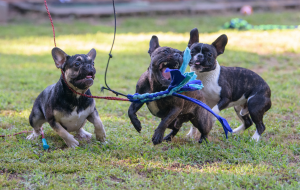 three dogs running to chase a lure