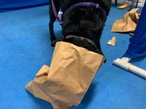 dog with head in paper bag searcing for food